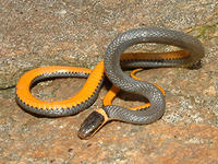 Ring-Necked Snake © Joy Marzolf, Mass Audubon