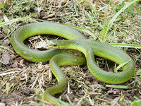 Smooth Green Snake © Joy Marzolf, Mass Audubon