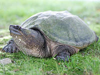 snapping turtle © Joy Marzolf, Mass Audubon