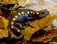 Spotted salamander © Joy Marzolf
