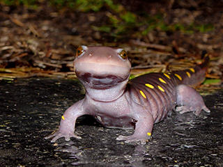 spotted salamander © Suzanne Niles