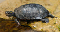 spotted turtle © Joy Marzolf, Mass Audubon