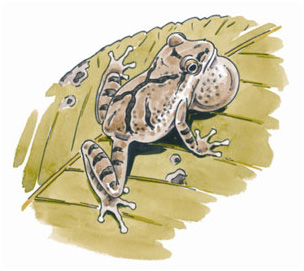 spring peeper, illustration by Barry Van Dusen