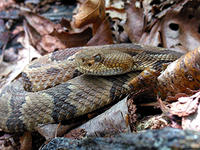Timber Rattlesnake © Dr. Charles F. Smith