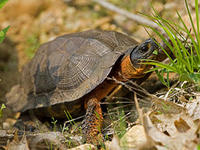 wood turtle © Chris Ruggiero