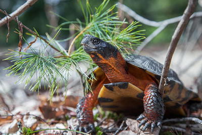 Wood Turtle © Mark Lotterhand