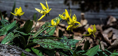 Yellow Trout Lily spring wildflowers in full bloom © Richard Welch