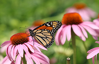 A monarch butterfly on a coneflower