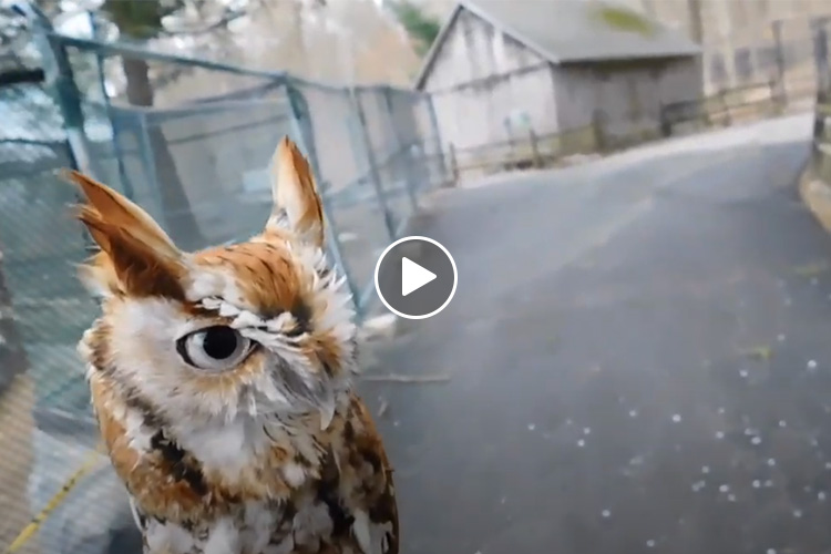 Screenshot from video featuring an Eastern Screech Owl