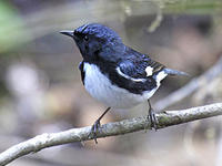 Black-throated blue warbler © J Harrison