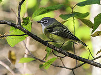 Blue-headed vireo by David Larson