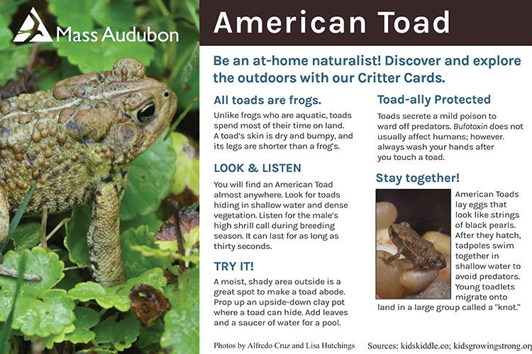 Critter Card — American Toad