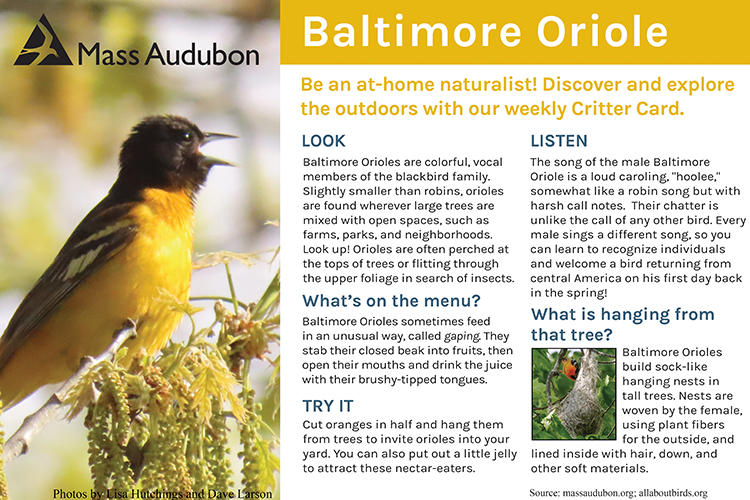 Critter Card — Baltimore Oriole