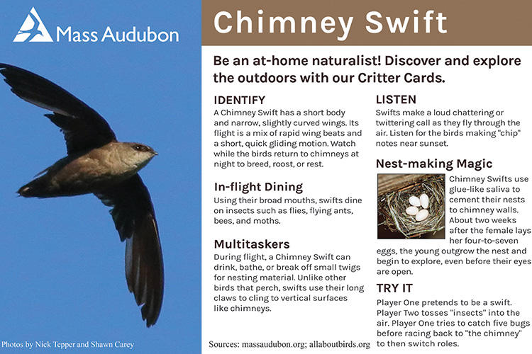 Critter Card — Chimney Swift