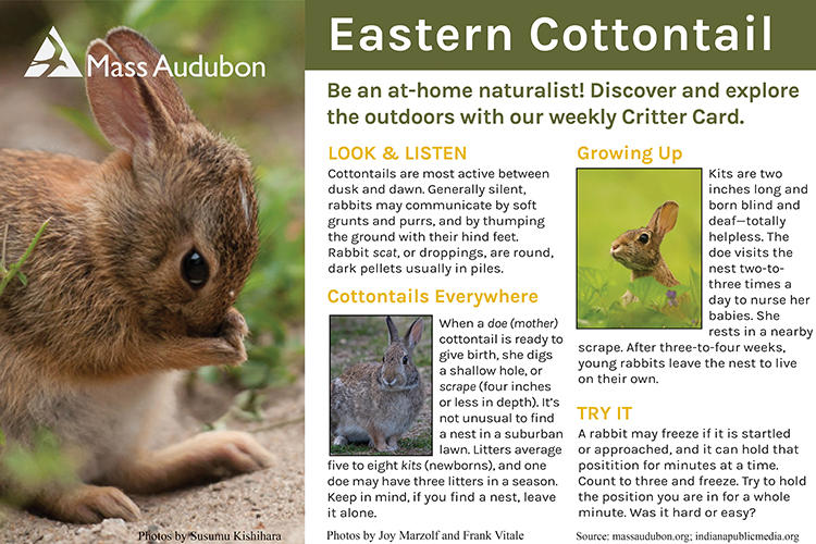 Critter Card — Eastern Cottontail