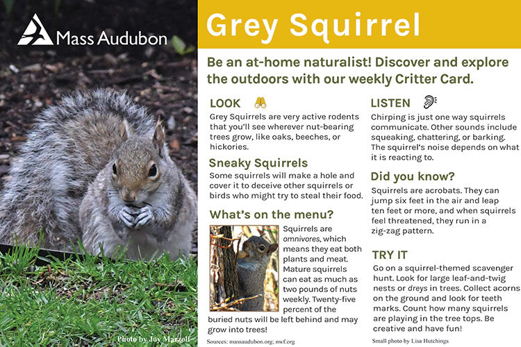 Critter Card – Gray Squirrel