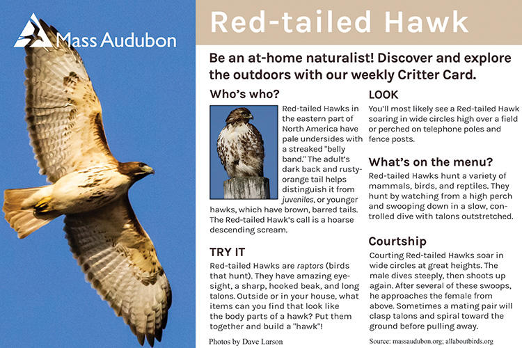 Critter Card — Red-tailed Hawk