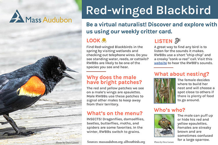 Critter Card – Red-winged Blackbird