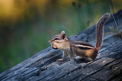 Eastern chipmunk with a mouthful of acorns © Justin Miel