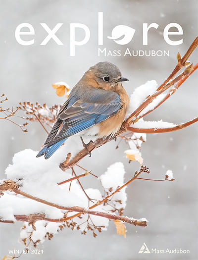 "Cover of ""Explore"" Winter 2021 issue (Eastern Bluebird on a snowy branch © Cheryl Rose)"