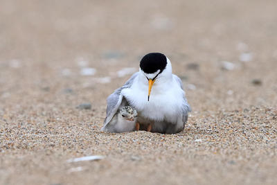 Least Tern with a wing over its chick © Jeff Blanchard