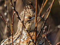 Ruffed grouse by David Larson