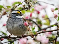 White-throated sparrow © Katherine Sayn Wittgenstein