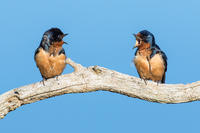 Barn Swallows © Mark Landman
