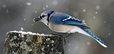 Blue Jay eating seeds on a snowy tree stump © Sarah Keates
