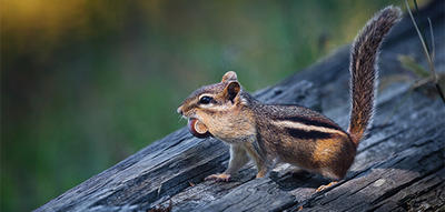 Eastern Chipmunk with an acorn © Justin Miel