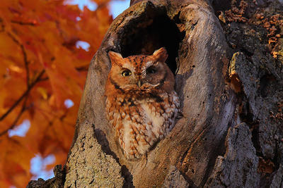 Eastern Screech Owl red morph in fall tree © Christopher Peterson