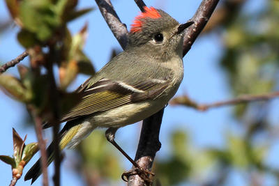 Ruby-crowned Kinglet copyright Thomas Zack