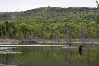 View of rookery, beaver lodge, and woods at Tracy Brook Wildlife Sanctuary