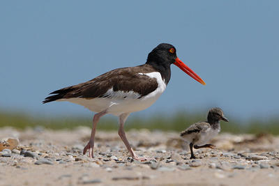 American oystercatchers © Cameron Darnell