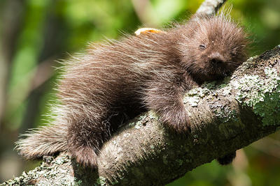 Baby porcupine in tree © David Blad