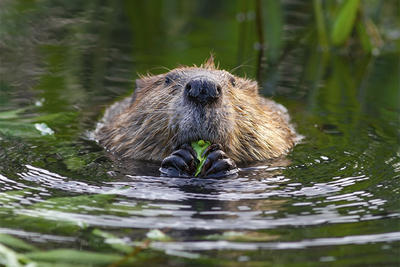 Beaver eating vegetation © Darya Zelentsova