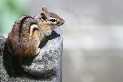 Eastern Chipmunk with bug on nose © Aranya Karighattam