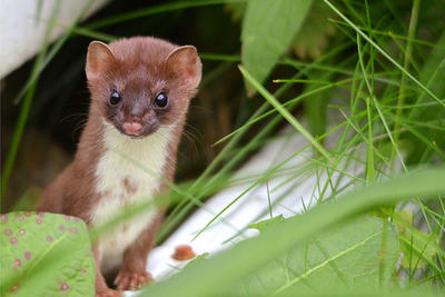 Long-tailed weasel © Martin Culpepper