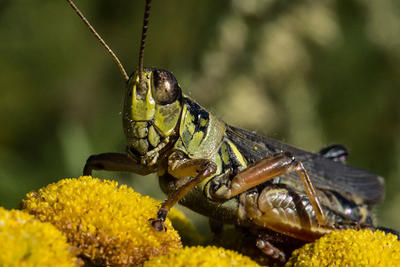 Short-horned grasshopper © Robert Killam