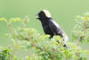 Bobolink copyright Steve Webster