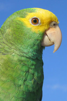 Closeup of Yellow-headed Parrot