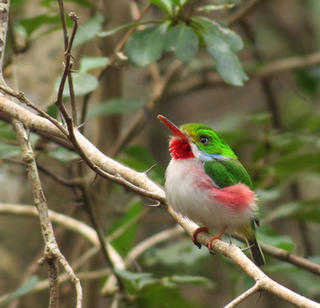 Cuban Tody © Bob Speare, Mass Audubon