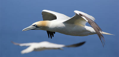 Northern Gannets in Newfoundland by Carol Decker