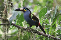 Plate-billed Mountain Toucan (Photo: David Larson)
