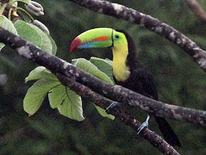 Toucan in Panama © David Larson, Mass Audubon