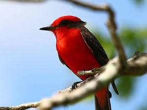 Vermillion flycatcher in Belize © Donna Cooper