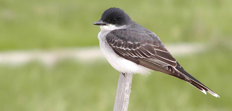 Kingbird © Richard Johnson
