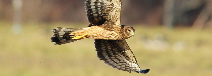 Northern Harrier at Daniel Webster Wildlife Sanctuary © D. Wauchope