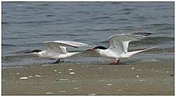 Adult and fledgling Roseate Terns