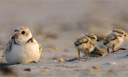 Piping Plover and Chicks © John Van deGraaff
